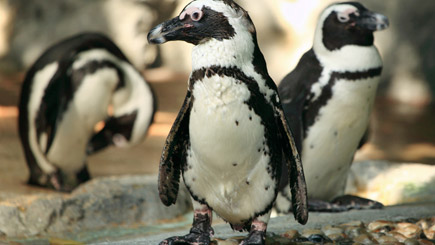 Adopt a Penguin from Paradise Wildlife Park