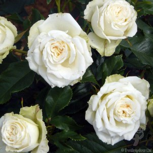 Send a Diamond 60th Anniversary Rose Bush