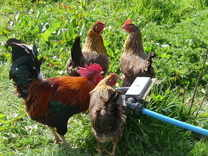 free range chickens on Little Arthur Farm