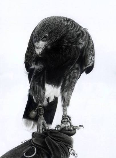 Harris Hawk on glove