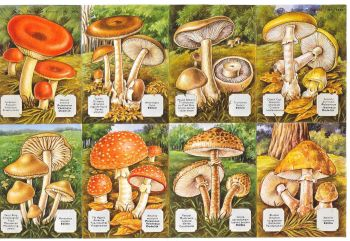 1436A- Woodland Mushrooms Toadstools Capsicum