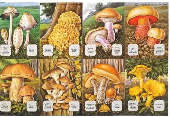 1436B- Woodland Mushrooms Toadstools Capsicum