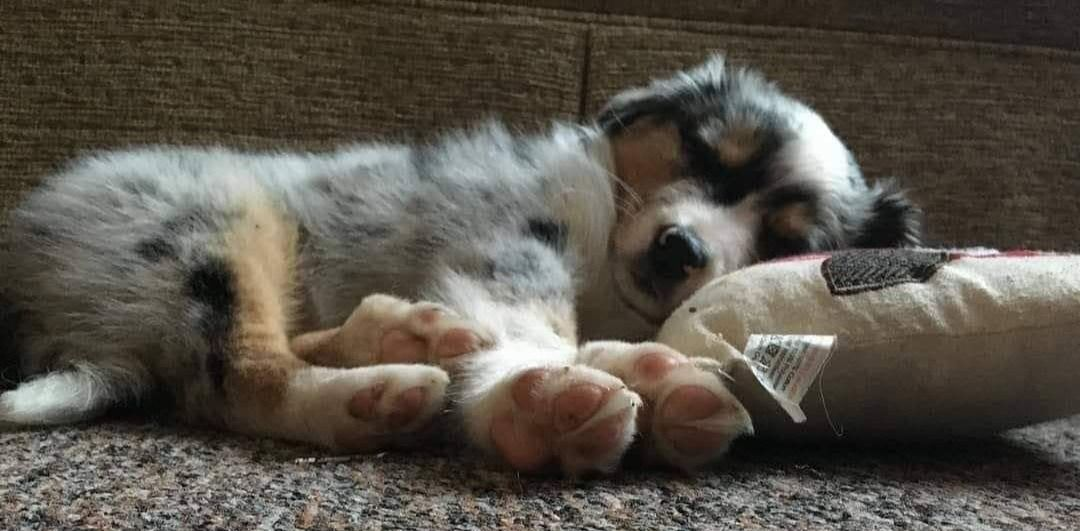 Sleepy relaxed puppy