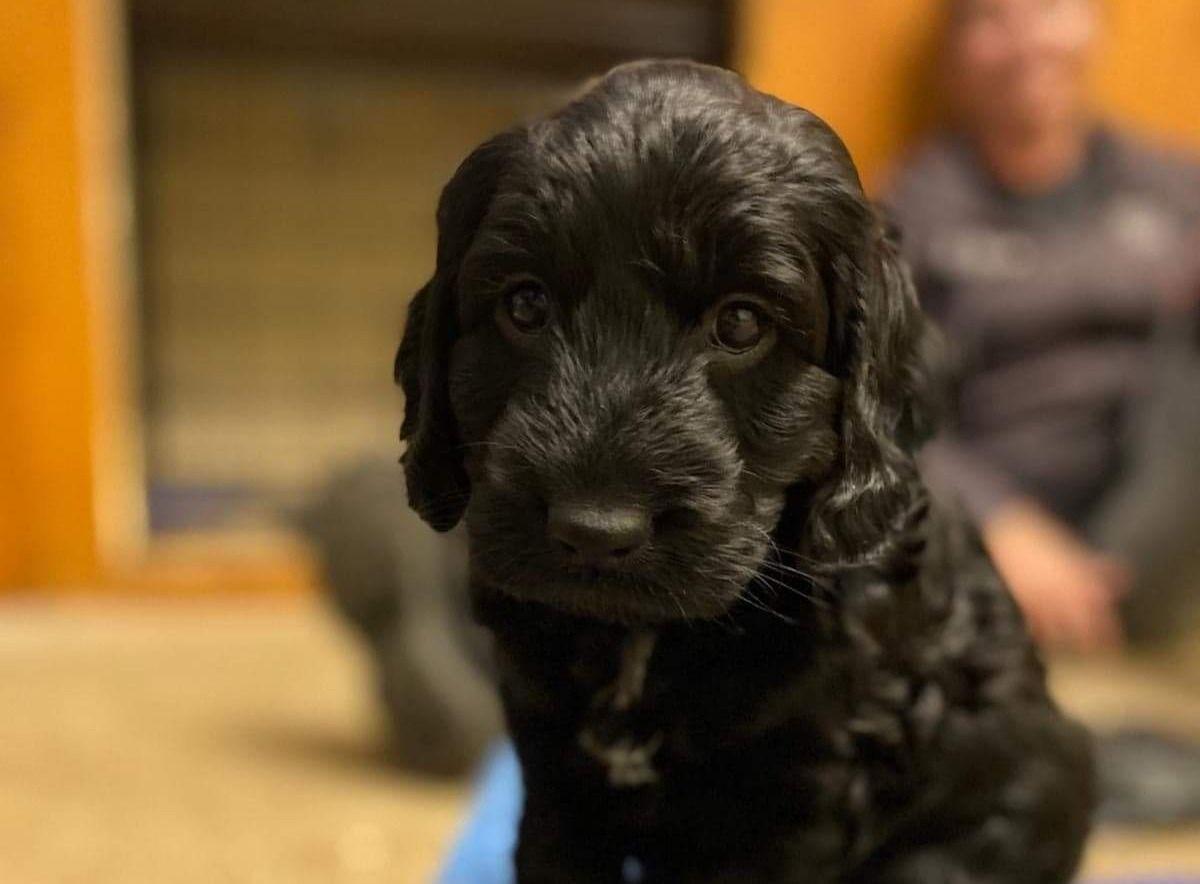 Cute spaniel puppy