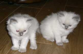 Double trouble 2 cpt kittens