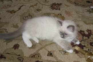 Blue Mitted on rug