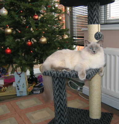 Blue Colourpoint Female xmas tree