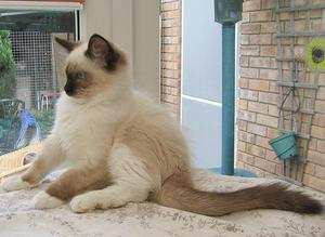 Seal Mitted Kitten onyx