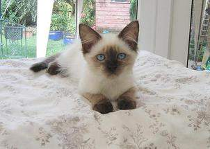 Seal Colourpoint Male onyx kitten