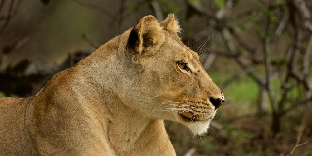lion 1000 banner