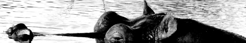 hippo header