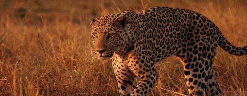 leopardbanner 400