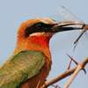 White fronted bee eater.