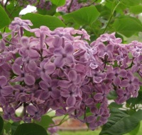 Lilac  - Price from
