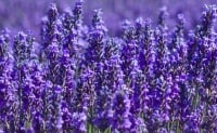 Lavender Luxury  - Price from