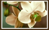 Chocolate Orchid-