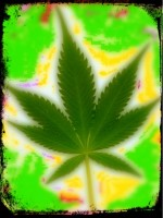 Cannabis Flower-