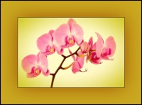 Pink Orchid & Amber  - Price from