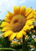 Sunflower. Price from