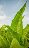 Tobacco Plant - Price from ...