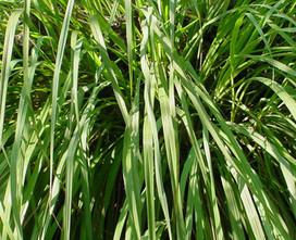 Lemongrass - Price from