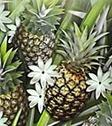 Pineapple Jasmine - Price from