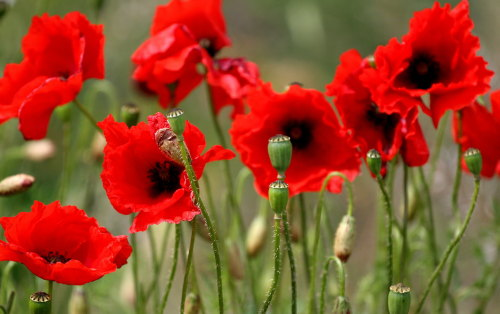 Peppered Poppies  - Price from