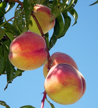 Fresh Peach - Price from