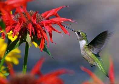 Hummingbird - Price from