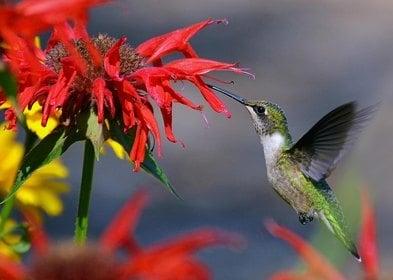 Hummingbird - Price from