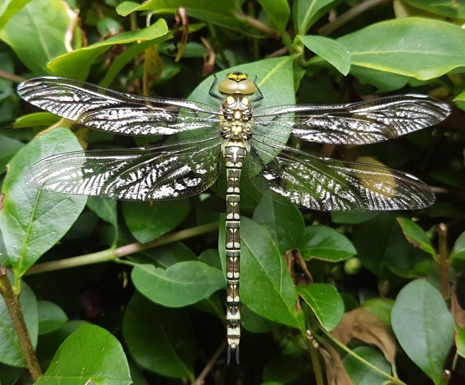 Dragon Fly GD 2