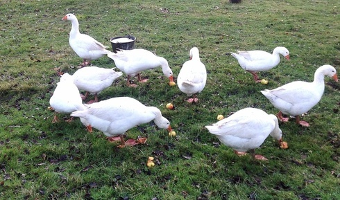 geese and apples