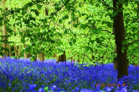 bluebells by roy