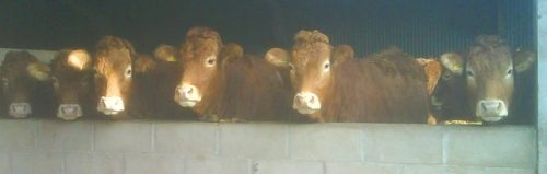 Recipient homebred heifers