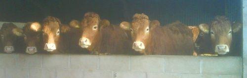 Recipient homebred heifers