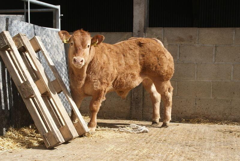 freeman calf image 1