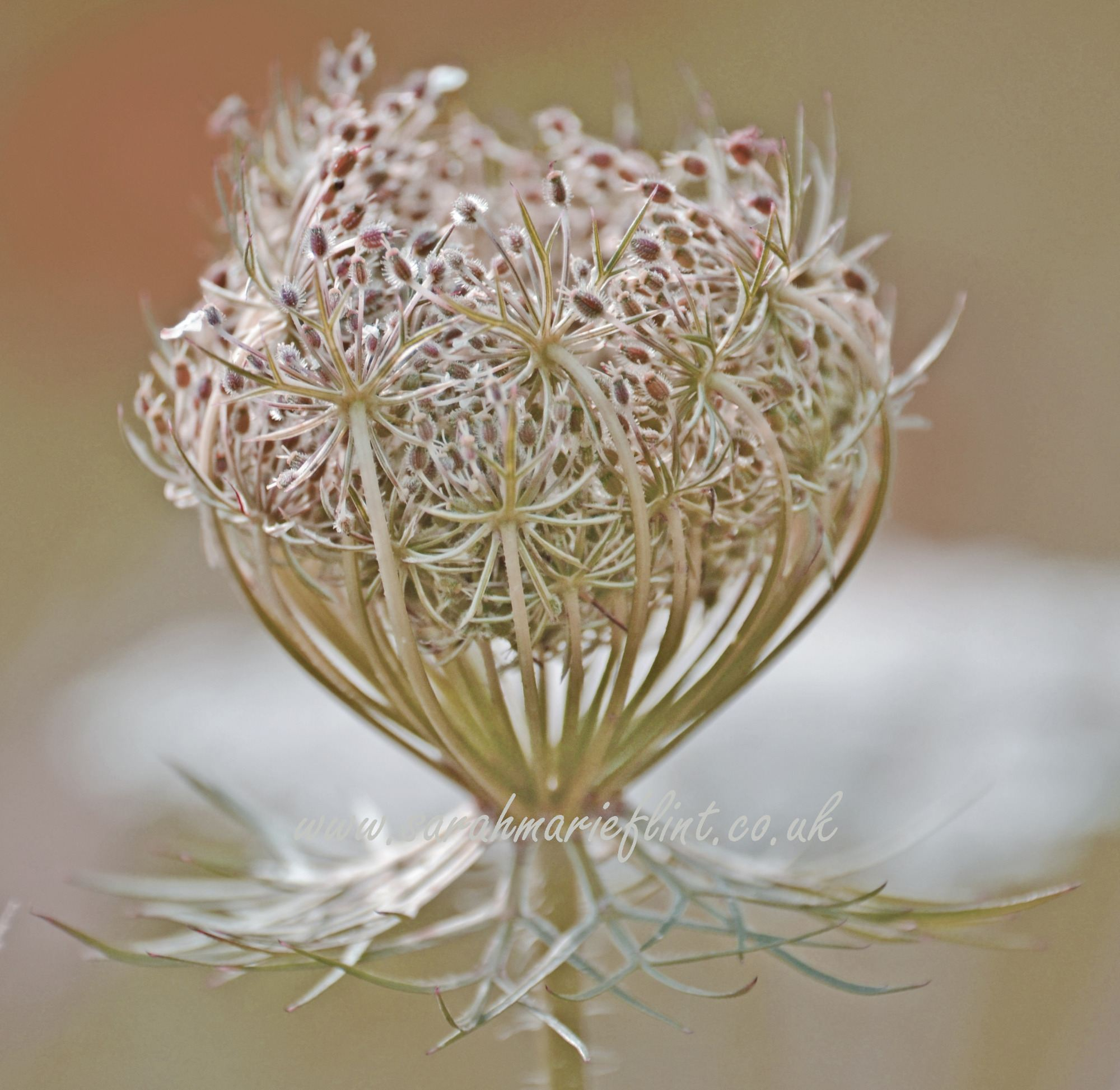 Sepia Photograph of a Carrot Seed Head