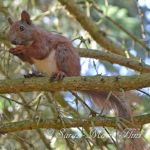 Red Squirrel Lehnitz Germany