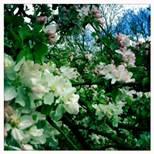 may13-blossom1
