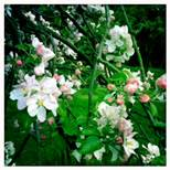 may13-blossom2