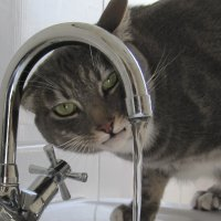 Cat drinks from tap