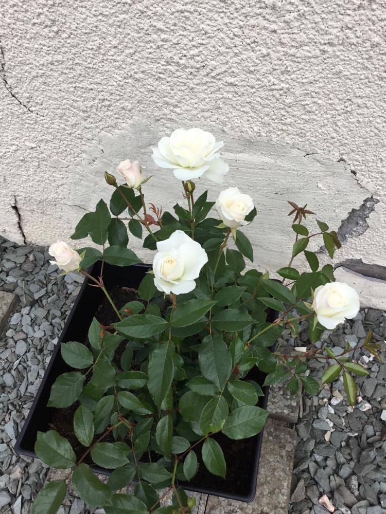 Guardian Angel rose bush