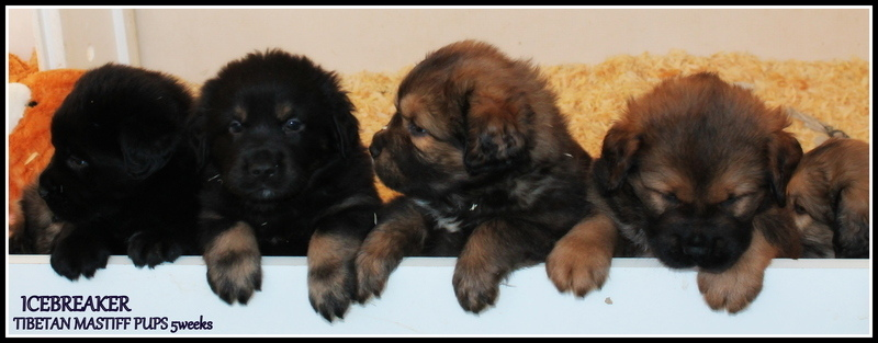 Wilma puppies 5 weeks