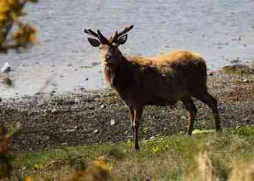 Lochdon stag By John McNeice