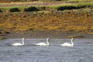 shaz stanley swans