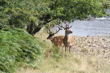 shaz stanley deer