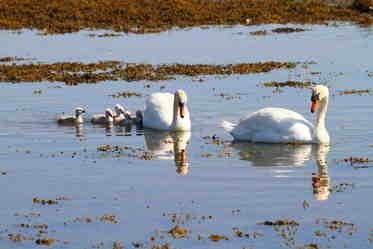 swans lochdon