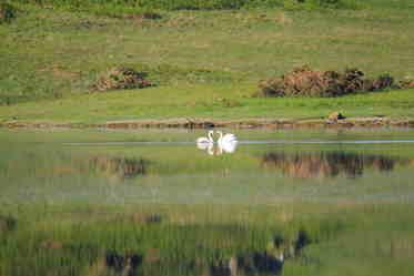 parent swans