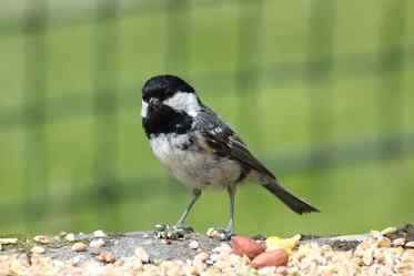 birds eastcroft coaltit