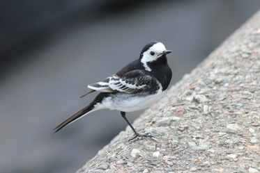 Pied Wagtail at Craignure